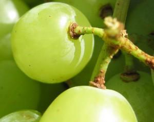 szőlőszem