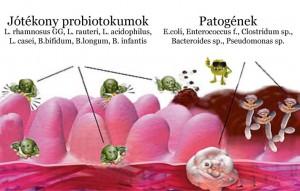 bélbaktériumok szerepe
